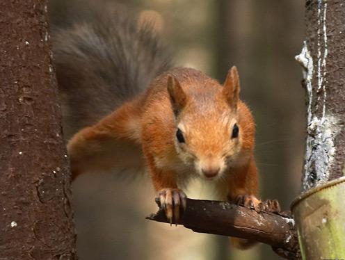 Flying Funny Squirrel
