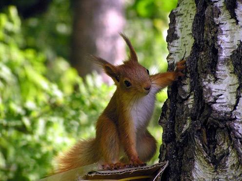 Horny Squirrel