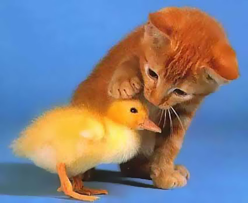 Little Duck and Cat