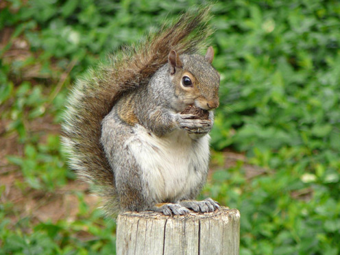 Monument Squirrel