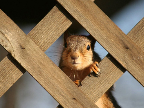 Squirrel Prisoner