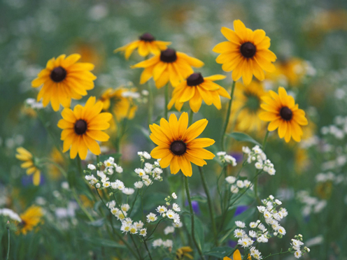 Black Eyed Susans and Daisy Fleabane, Kentucky