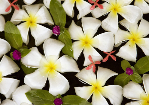 Frangipani Flowers in Water, Thailand
