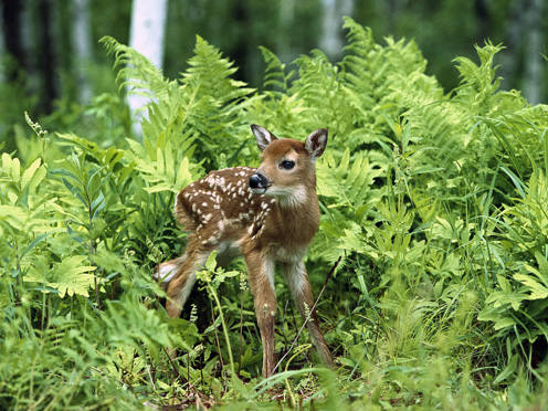 Baby Deer Trying to Walk