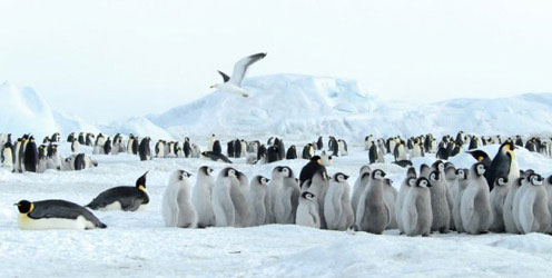 Lots of Penguins in Antarctica