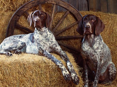 Two Kurzhaar Puppies