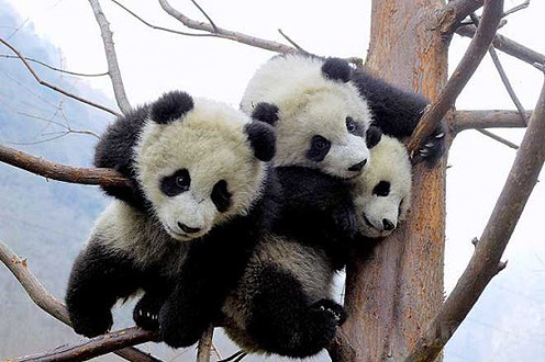 Three Pandas on the Tree