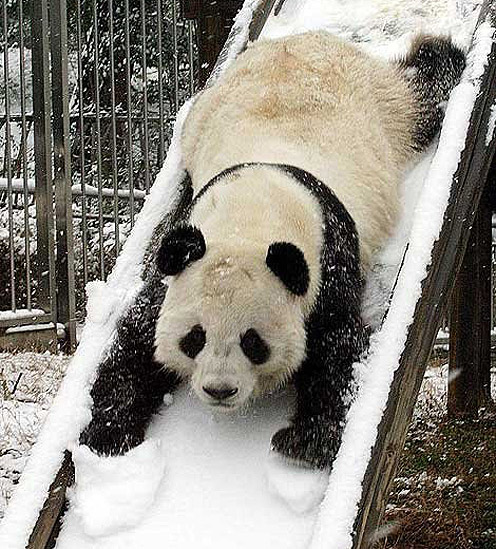 Panda in Winter