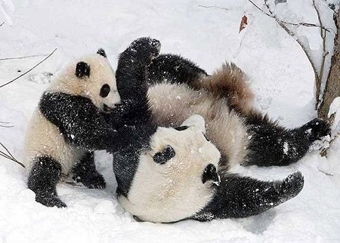 Pandas Playing in Winter