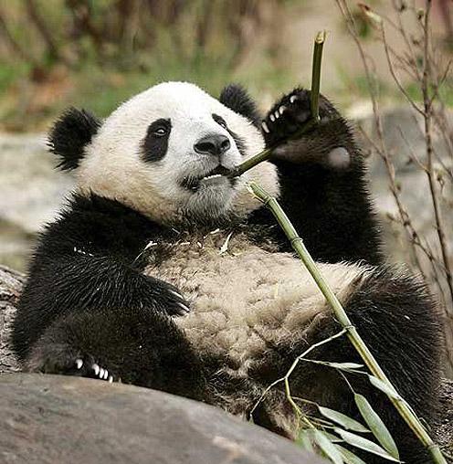 Panda - Bamboo Lover