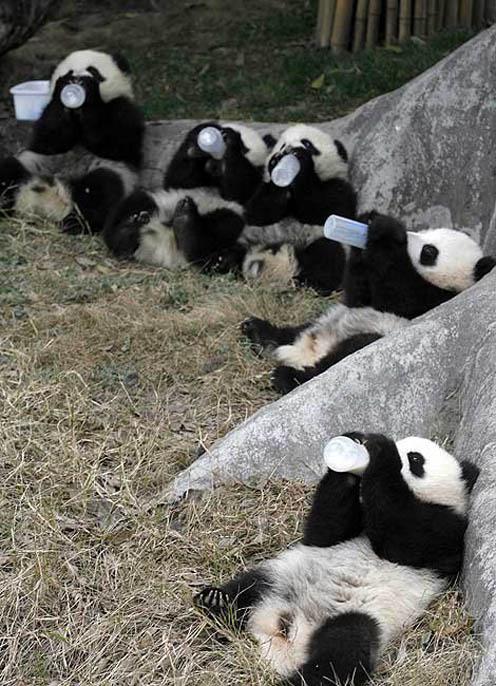 Many Panda Cubs Drinking Milk