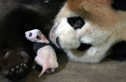Big Panda with Tiny Panda