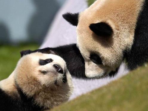 Cute Giant Panda