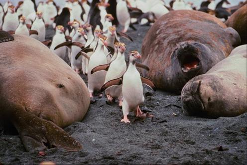 Cute Walking Penguins