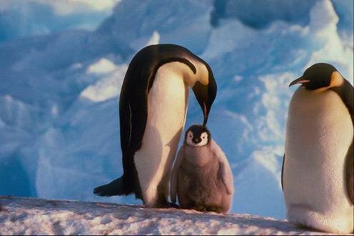 Mom Penguin Cleaning Son Penguin