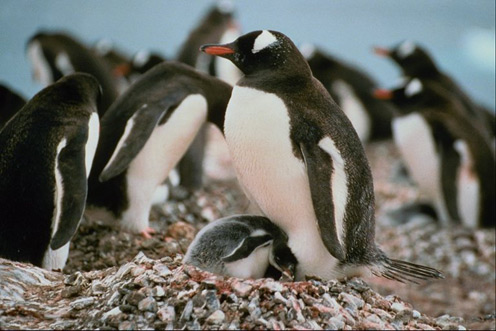 Little Penguin Hiding under Mother