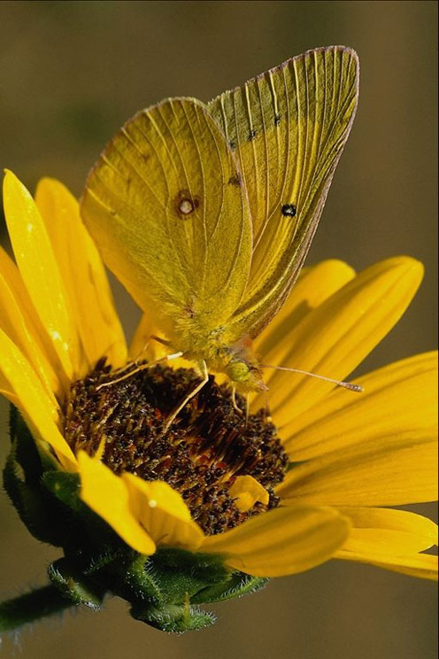 Beautiful Yellow Butterfly on the Yellow Flower