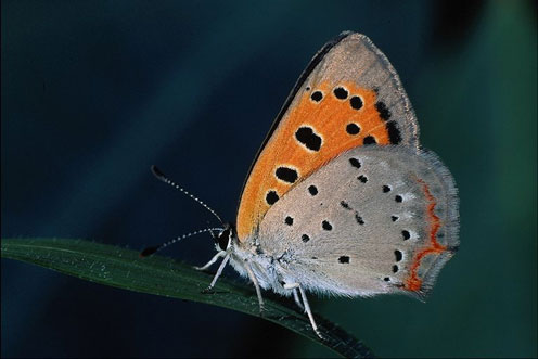 Grey-Orange Colored Butterfly