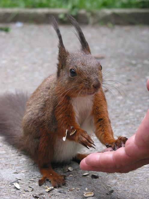 Squirrel Fed by Human