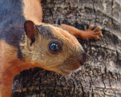 Red Squirrel's Face
