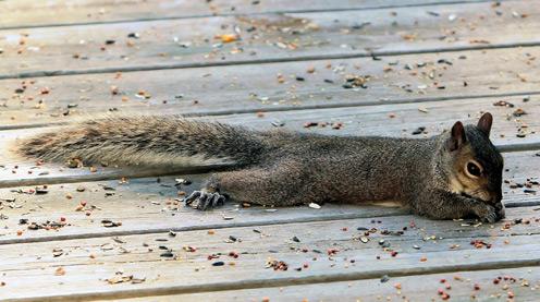 Lying Squirrel