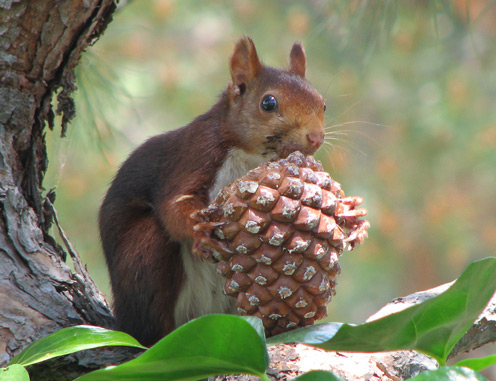 Squirrel Holding a Cone