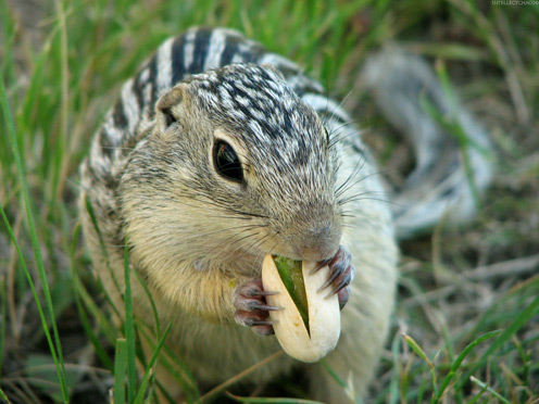 Squirrel Eating a Pistachio
