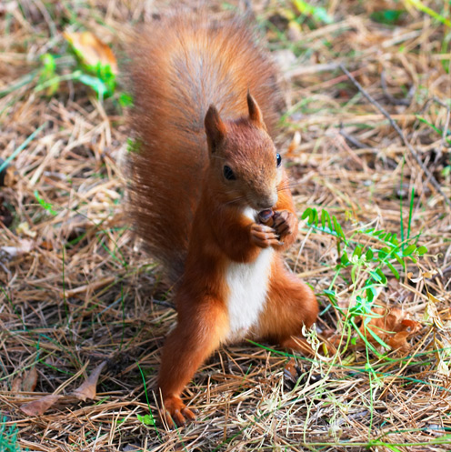 Cool Red Squirrel