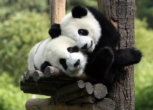 Two Funny Pandas