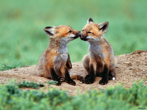 Two Kissing Foxes