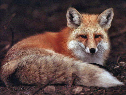 Red Fox with a Beautiful Tail