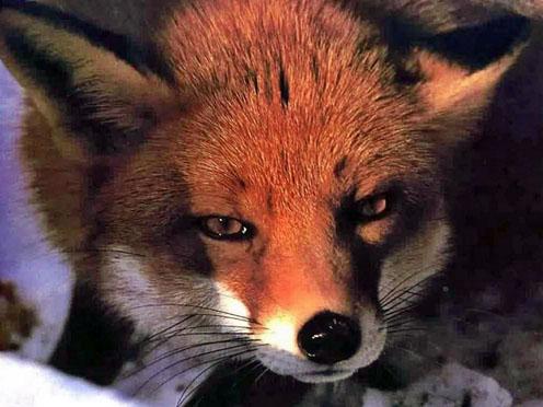 Fox' Face