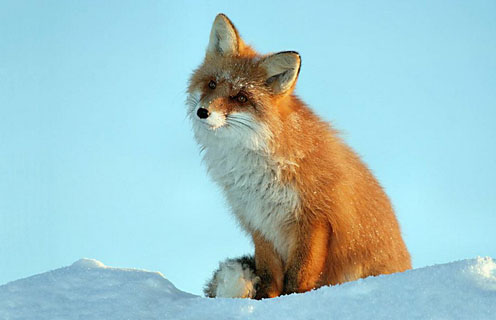 Fox on the Snow