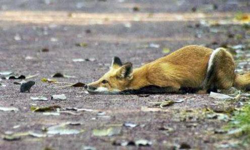 A Hunting Fox