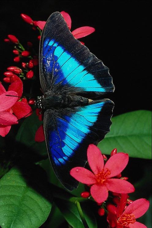 Blue Butterfly, Red Flower