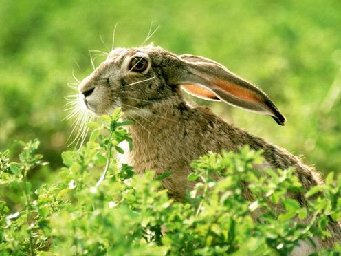 Goggle-eyed Hare