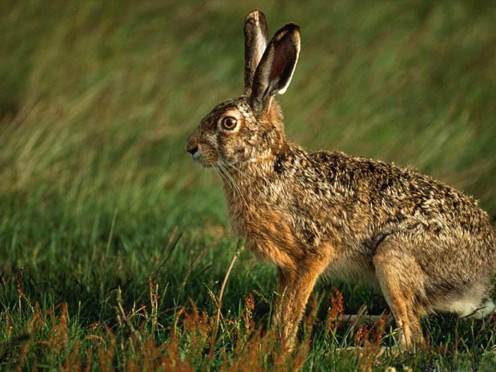 Scared Hare