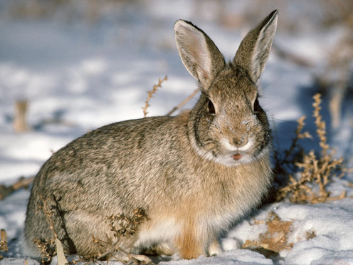 Rabbit in Winter