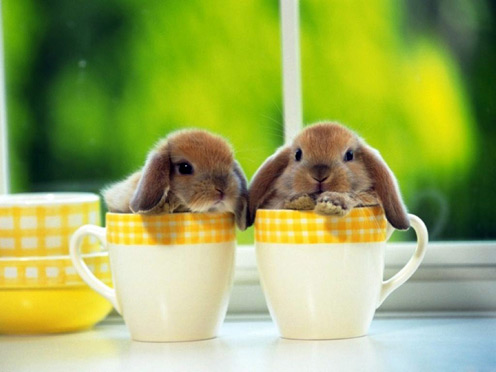 2 Cute Lop-eared Rabbits