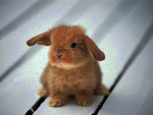 Tiny Lop-eared Rabbit