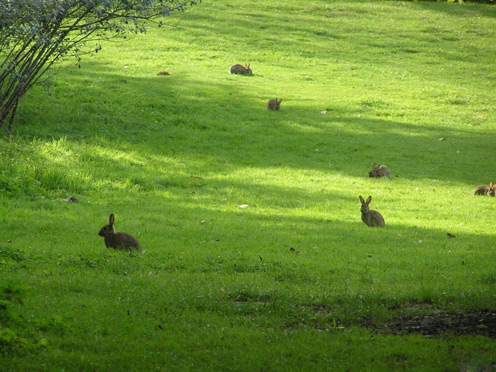 Rabbits on a Green Meadow