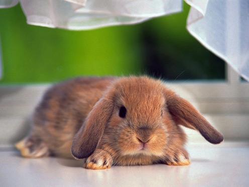 Lying Rabbit