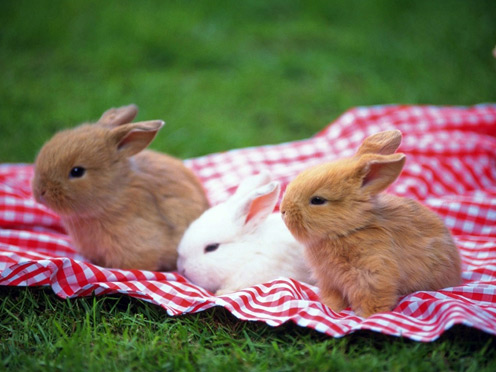 Picknic Rabbits