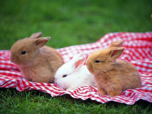 Picknic Rabbits