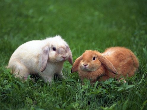 2 Rabbits on Grass