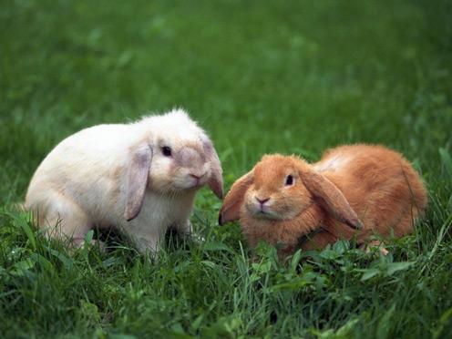 2 Rabbits on Grass