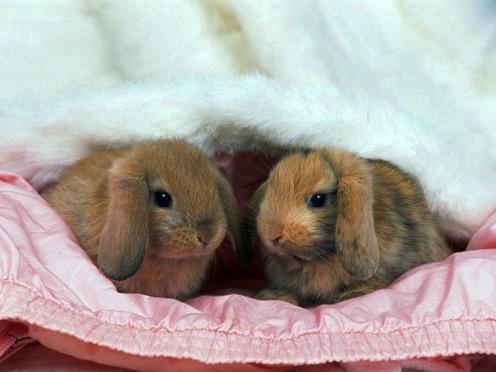 Cute Lop-Eared Rabbits