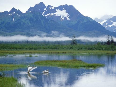 Trumpeter Swans, Copper River Delta