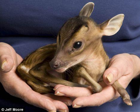 Cute Deer Rupert