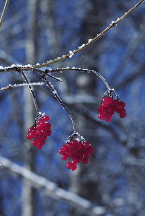 Snow-Covered Berries
